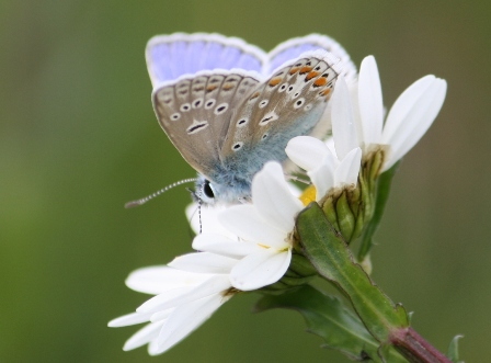 Common Blue Male, Minet