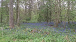 Bluebells at Chiltern Gateway Project