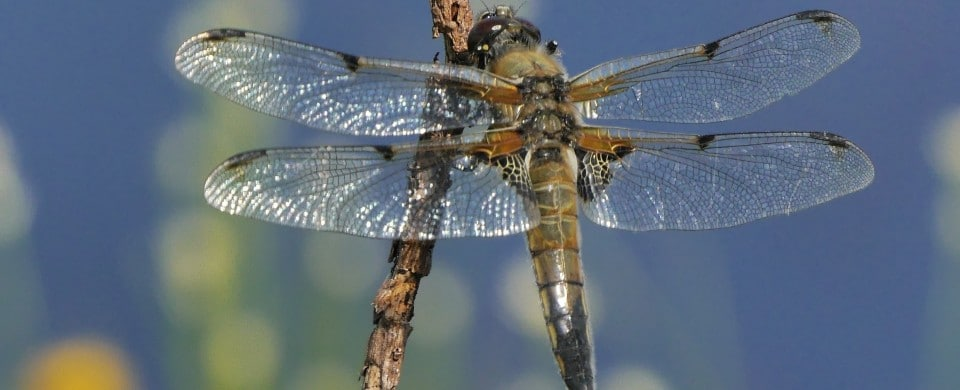 Four-spotted Chaser David Chandler
