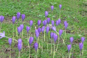 Autumn Crocus - one of the best sites in Derbyshire for this species. Photo by Norman Crowson