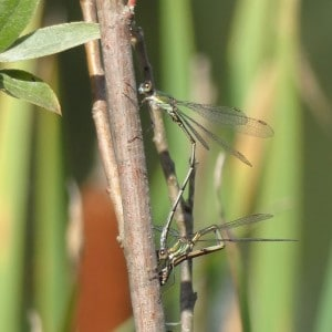 Willow Emerald damselfly pair in tandem egg laying 9.9.15