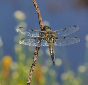 Four-spotted Chaser by David Chandler