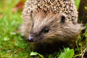Hedgehog. Photo by Norman Crowson