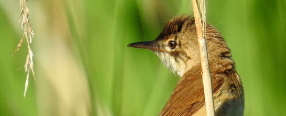 Reed Warblers Breeding At A Rocha Uk S Nature Reserve